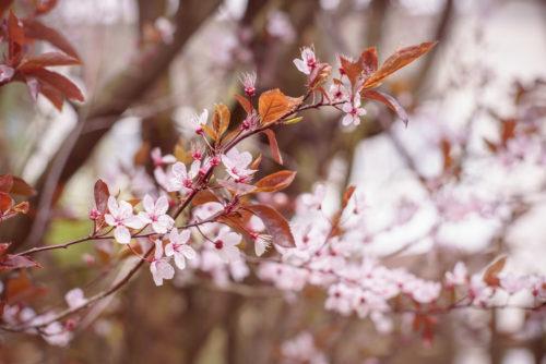 05.04.2017 – Kirschblüten